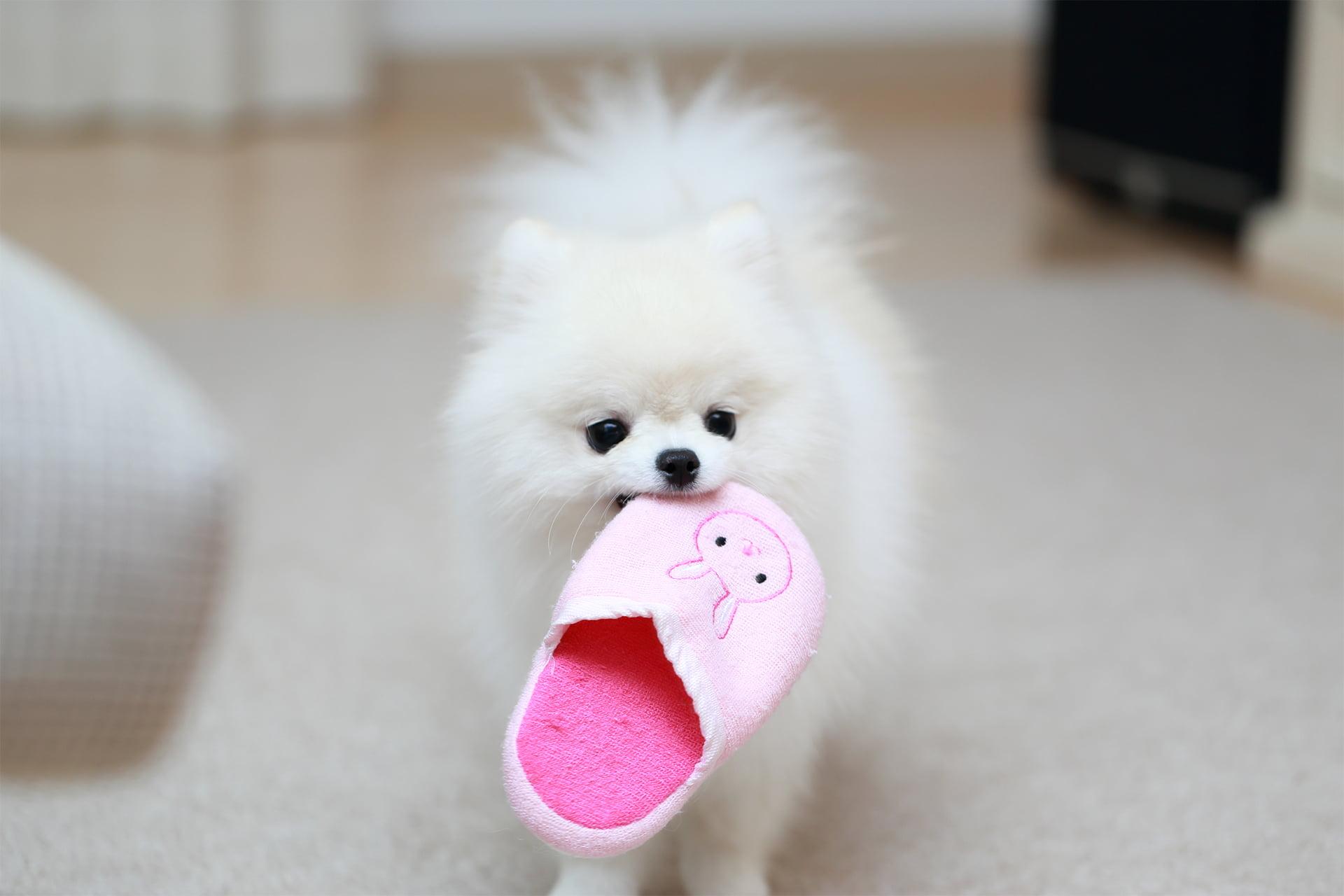 ピンクのスリッパをくわえて待っているポメラニアン